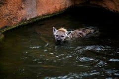 Заплывы гиены в воде Стоковая Фотография