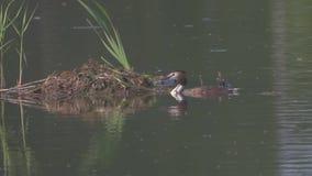 Заплывы дикой утки в озере делают гнездо из ветвей природы сток-видео