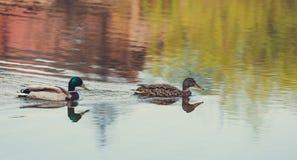 Заплывы дикой утки в озере Стоковое Изображение