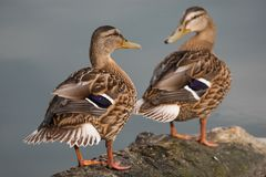 Заплывы дикой утки в озере Стоковые Фотографии RF