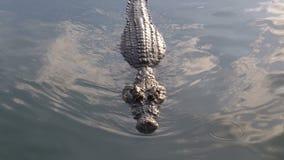 Заплывы крокодила в зеленой болотистой воде Тинное болотистое река Таиланд ashurbanipal акции видеоматериалы