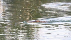 Заплывы крокодила в зеленой болотистой воде Тинное болотистое река Таиланд ashurbanipal сток-видео