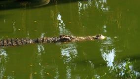 Заплывы крокодила в зеленой болотистой воде Тинное болотистое река Таиланд ashurbanipal видеоматериал