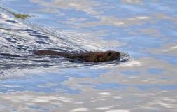 Заплывы крысы Стоковое Изображение