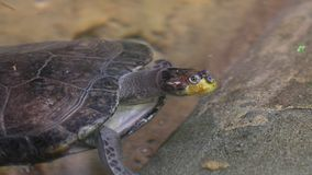 Заплывы морской черепахи в морской воде стоковая фотография rf