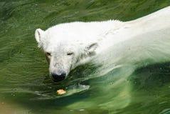 Заплывы полярного медведя Стоковое фото RF