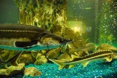Заплывы стерляжины рыб в аквариуме oceanarium Рыбы стерляжины стоковые фото