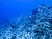 Заплыв акул молота над рифом Стоковая Фотография RF