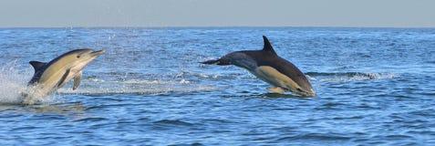 Заплыв дельфина и скакать от воды Стоковые Фотографии RF