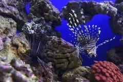 Заплыв крылатка-зебры подводный Стоковое Изображение RF