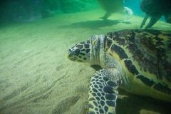 Заплыв морской черепахи подводный стоковое фото