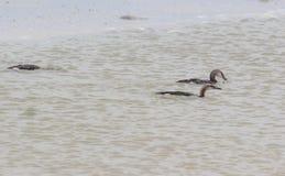 Заплыв птицы моря на воде Стоковые Изображения