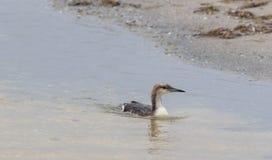 Заплыв птицы моря на воде Стоковая Фотография RF