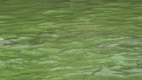 заплыв рыб карпа 4K в пруде в Тайване видеоматериал