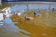 Заплыв уток в воде Drake плавает в озере Swi много уток стоковое фото rf
