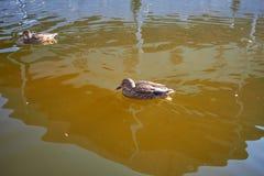 Заплыв уток в воде Drake плавает в озере Swi много уток стоковые изображения