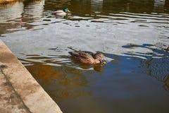 Заплыв уток в воде Drake плавает в озере Swi много уток стоковое изображение