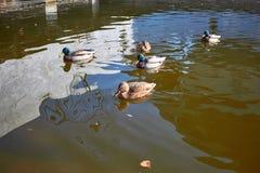 Заплыв уток в воде Drake плавает в озере Swi много уток стоковая фотография