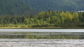 Заплыв уток в озере гор акции видеоматериалы