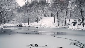 Заплыв уток в пруде зимы видеоматериал