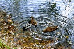 Заплыв 3 уток в пруде осени стоковые изображения rf