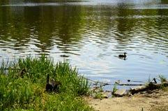 Заплыв уток на красивом озере стоковая фотография rf