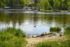 Заплыв уток на красивом озере стоковые фотографии rf
