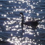 Заплыв черного лебедя на воде в солнечном дне стоковые изображения rf