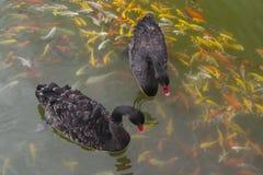 Заплыв черного лебедя с koi в пруде Поплавок заплыва черного лебедя на wa Стоковые Фотографии RF