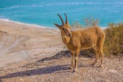 Заповедник и национальный парк Ein Gedi Стоковая Фотография RF