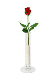 заполненная шариками ваза розы стекла просто одиночная Стоковые Изображения