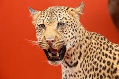 заполненный портрет леопарда славный Стоковое Фото