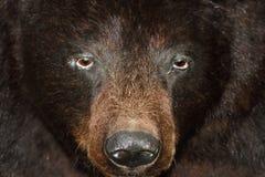 Заполненный Ursus черного медведя americanus Стоковое Изображение RF