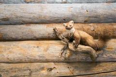 Заполненная куница на деревянной стене Стоковое Изображение