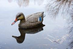 Заполненная утка на воде Стоковые Фотографии RF