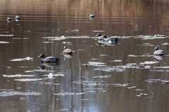 Заполненные утки между льдом Стоковые Фото