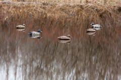 Заполненные утки около берега реки Стоковое фото RF