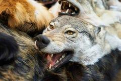 Заполненный головой трофей звероловства волка Стоковые Изображения