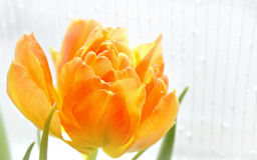 Заполненный тюльпан Стоковые Фото