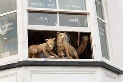 2 заполнили лис всматриваясь от вверх окна магазина оружия Стоковые Изображения