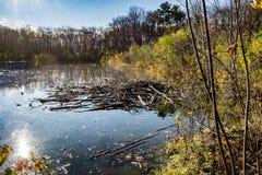Запруда бобра в пруде Стоковое Фото