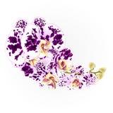 Запрудите орхидеи запятнал иллюстрацию винтажного вектора тропического завода фаленопсиса фиолетовых и белых цветков ботаническую иллюстрация штока