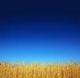 запруживает пшеницу Стоковое Фото