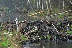 Запруда бобра в Беларуси Стоковые Фото
