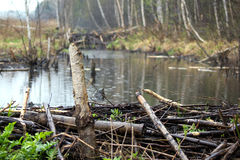 Запруда бобра в Беларуси Стоковые Изображения RF