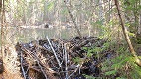 Запруда бобра в лесе видеоматериал