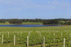 Запруда окруженная зелеными сочными виноградниками Стоковая Фотография