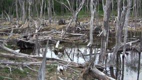 Запрудите бобра дома журнала деревьев пруда сухой в Ushuaia сток-видео