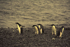 запутанность adelie идет не пингвины конечно к куда Стоковое Фото