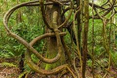 Запутанные лианы в тропическом лесе стоковые фотографии rf